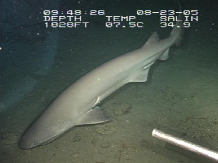 【前触れ】青森県・牛滝沖で深海魚の「カグラザメ」を捕獲…漁師「見たことがない、なぜこんな所に?」