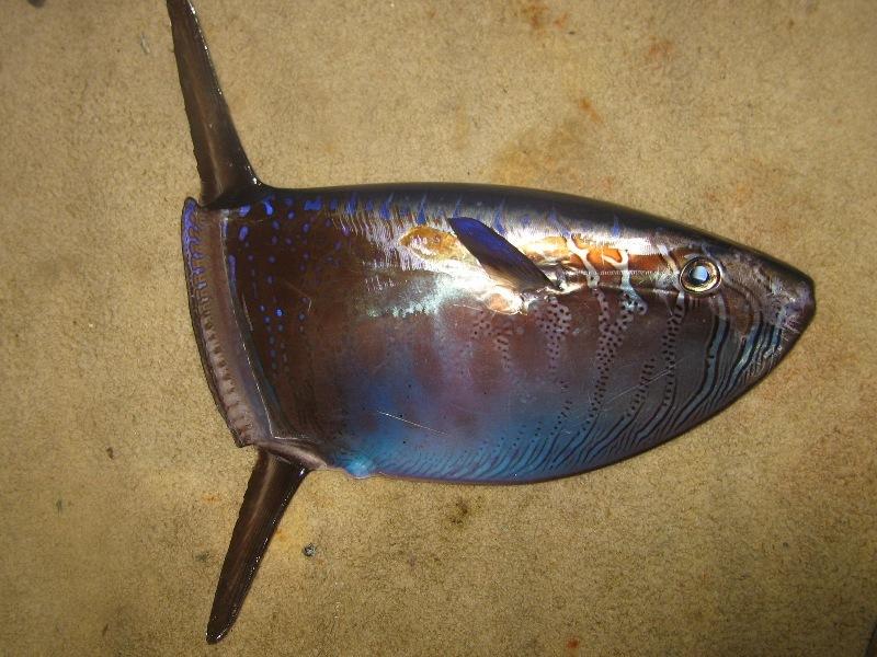【熱帯】沖縄・名護市の海岸に珍しいマンボウ科の「クサビフグ」が漂着しているのを発見