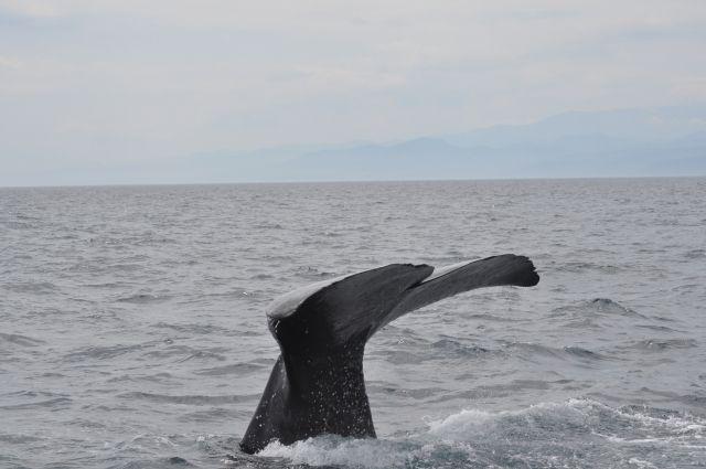 【極めて異例】ザトウクジラ「200頭」が南アフリカ沖に集結…生息環境に異変か