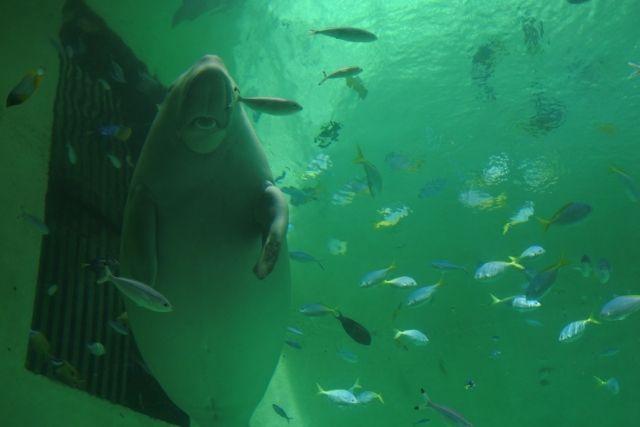 【沖縄】国内の生息は3頭だけ…「ジュゴン」を新たに目撃