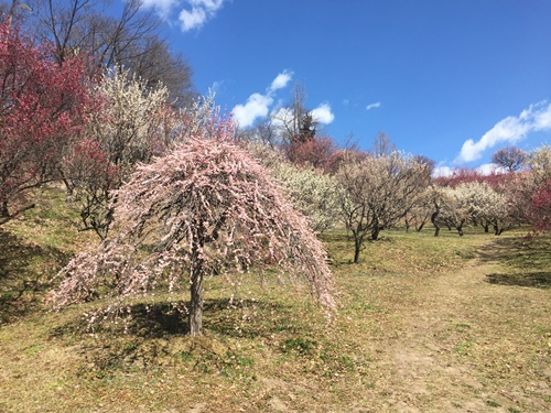 藤牡丹枝垂
