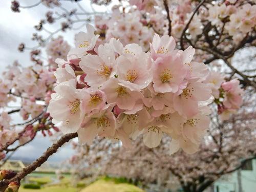 散歩道の桜2