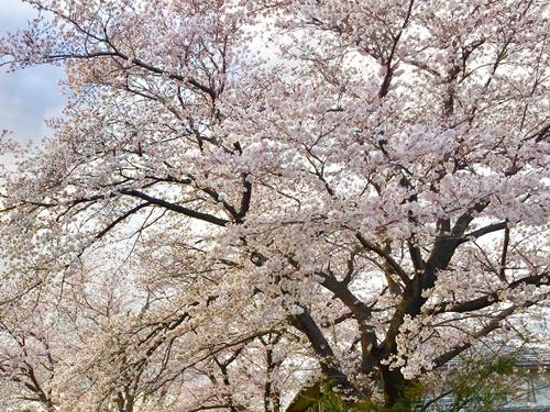 散歩道の桜3