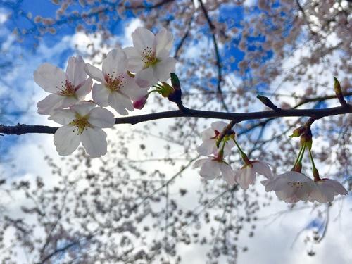 散歩道の桜5