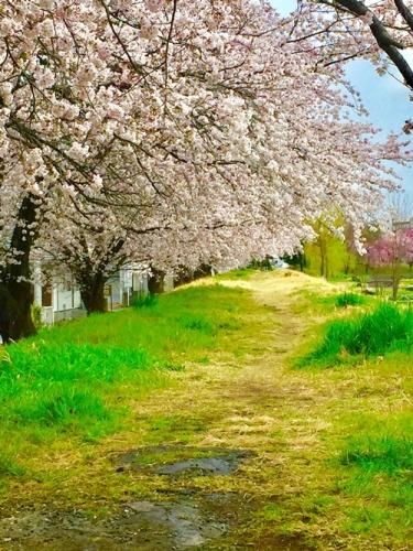 散歩道の桜4