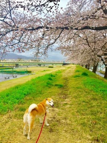 散歩道の桜6