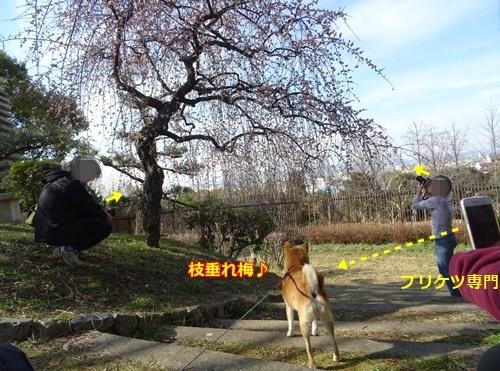 3枝垂れ梅