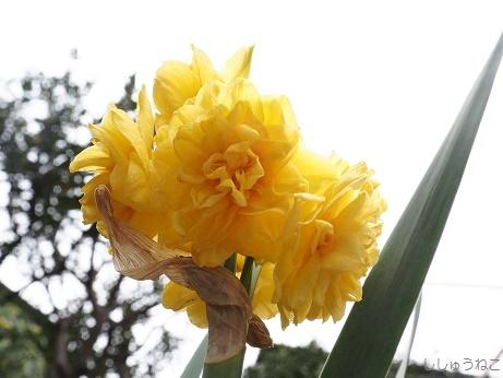 水仙 黄色八重