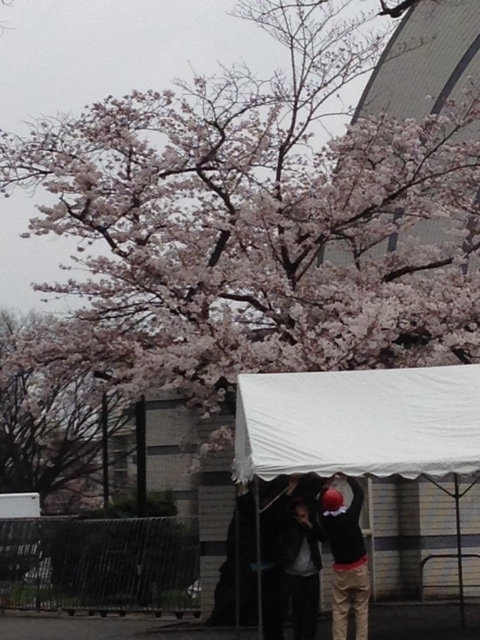 meiji_sakura_201703.jpg